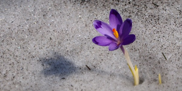 Crocus - blue flower of Carpathian mountains in spring